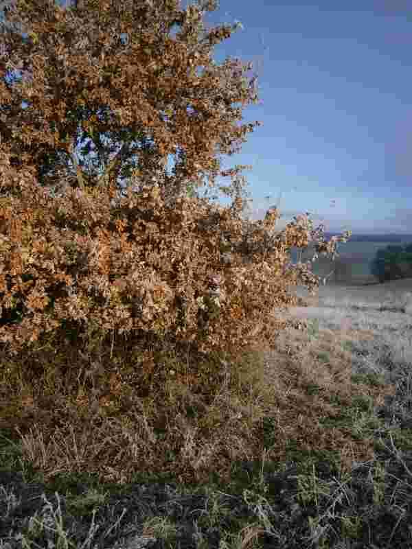 Autochthone Stieleiche (quercus robur)