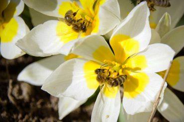 Honigbienen höseln Blütenstaub auf Wildtulpenart Tulipa polychroma.