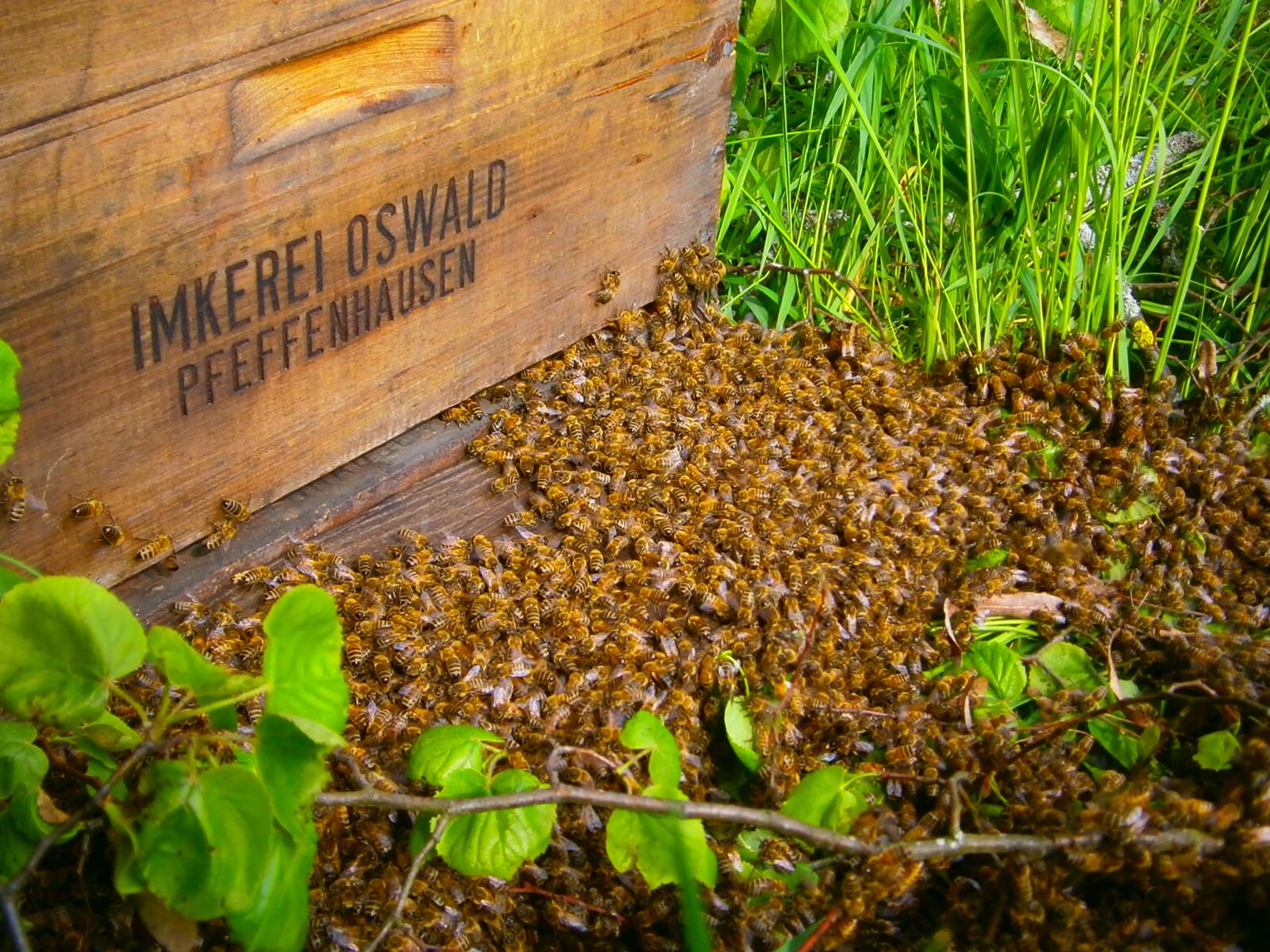 Ein Bienenschwarm einer Bioimkerei zieht in seine neue Behausung ein.