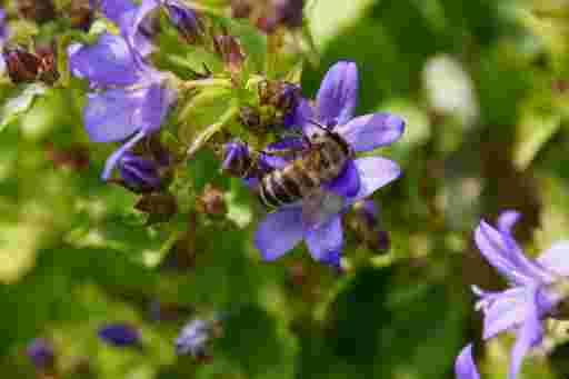 Honigbiene auf Glockenblume.