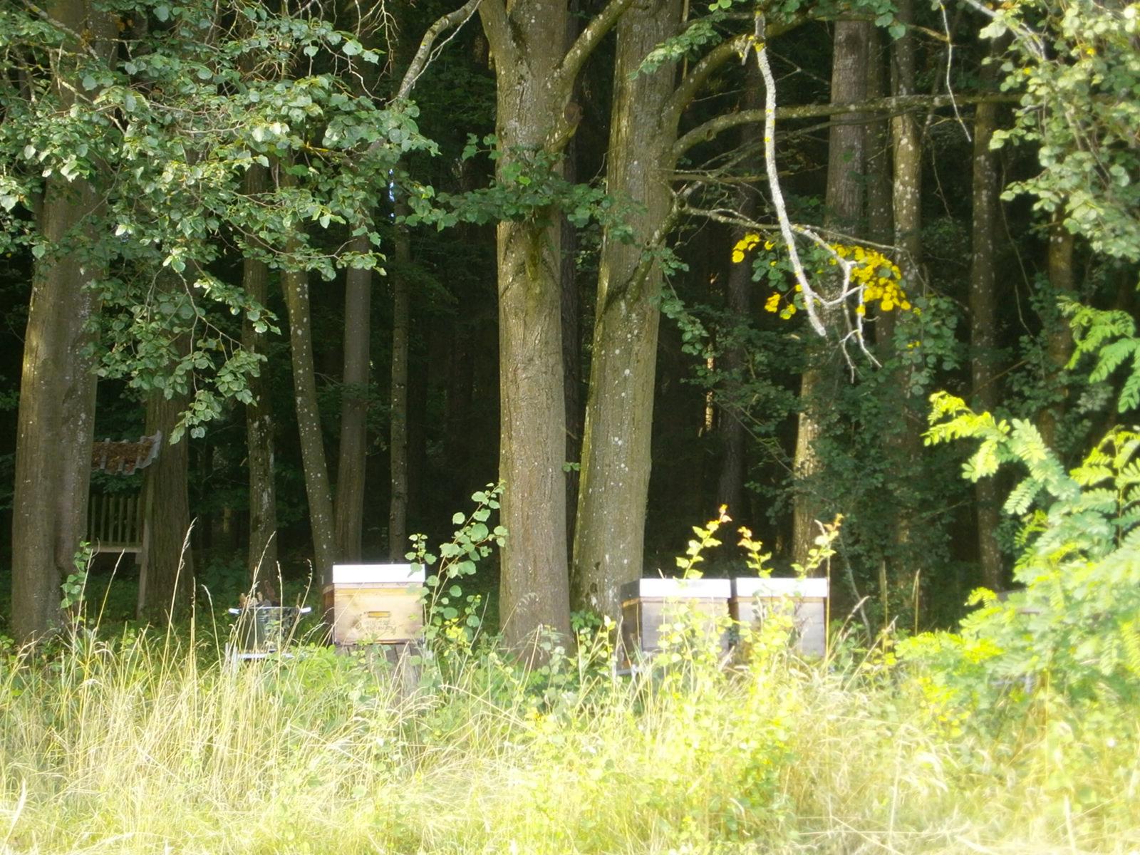 Zwei Bienenvölker stehen unter einer zweistämmigen alten Linde.