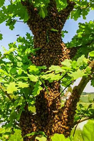 Eichel-mit-Bienen-Imkerei-Oswald