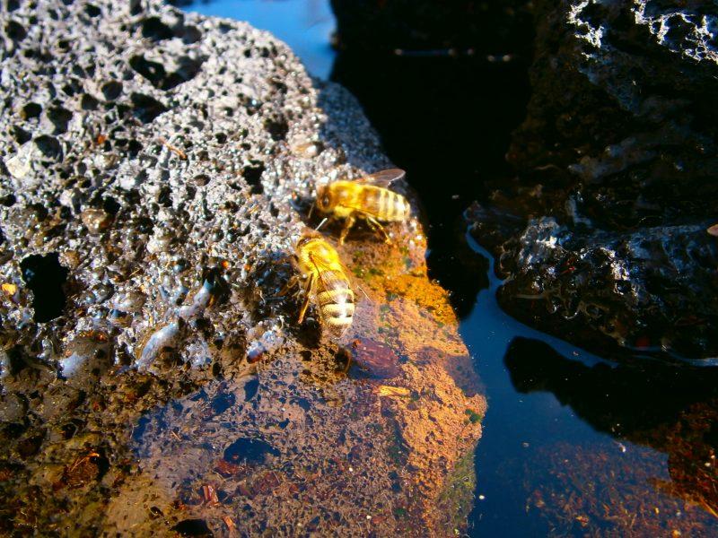 Bienen beim Wassersammeln.n
