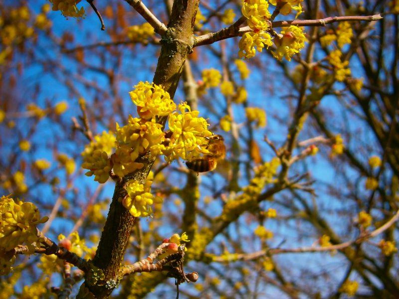 Kleine Biene im Frühling.