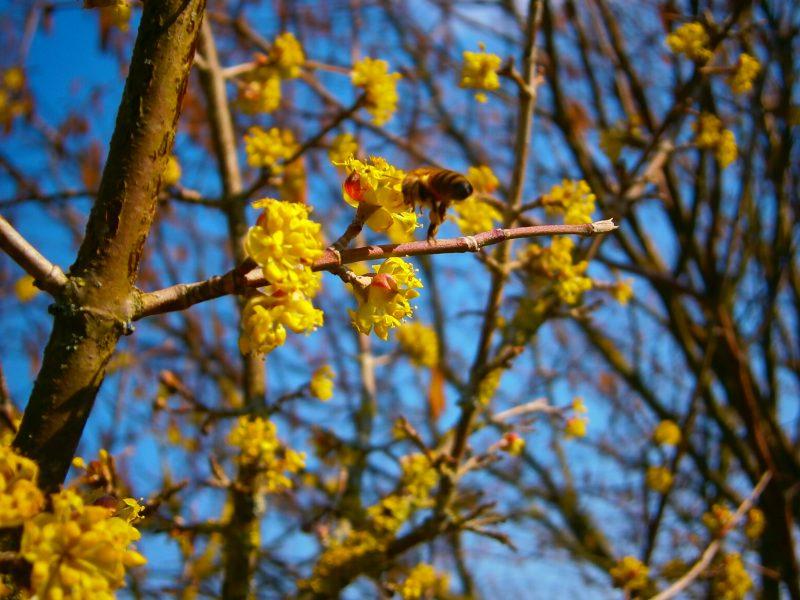 Bienelein beim Sammeln.