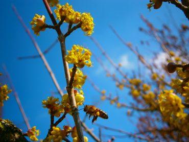 Aus der Bienenhaltung: Eine pollensammelnde Flugbiene befliegt eine Blüte der Kornellkirsche.