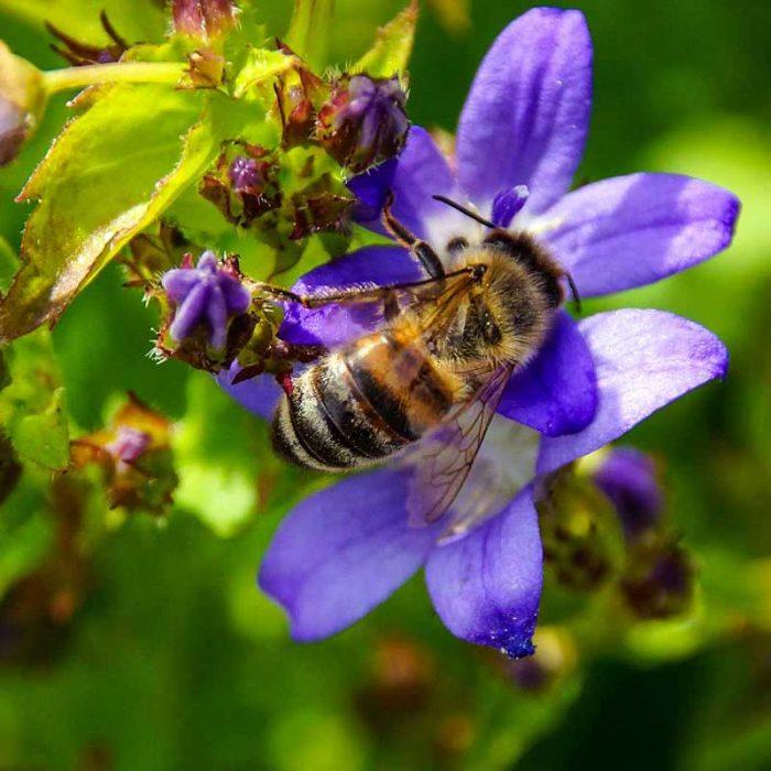 Biene auf Blume sammelt Honig - Imkerei Oswald