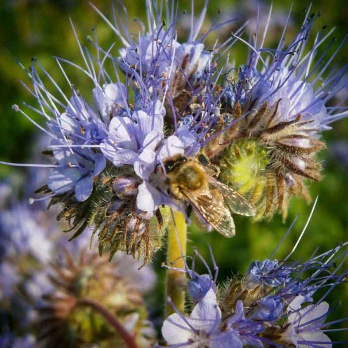 Bienen sammelt Blütenhonig - Imkerei Oswald