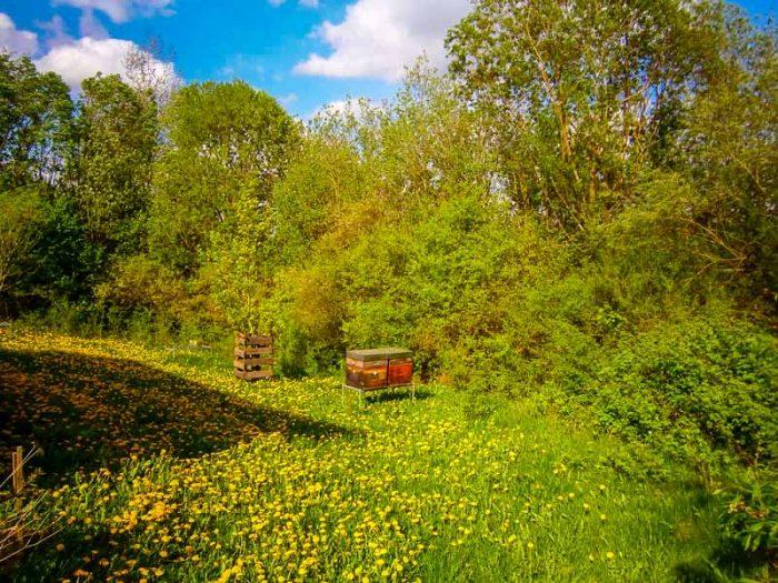 Bienenvölker zur Zeit der Löwenzahn-Honigernte