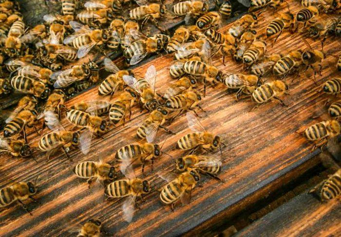 Unsere kleine Bienen auf einem Flugbrett