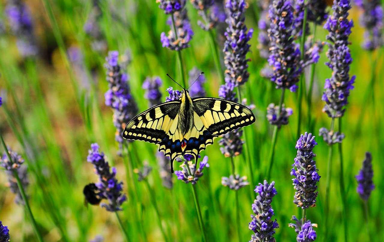 Schwalbenschwanz Schmetterling auf lila Lavendelblüte.