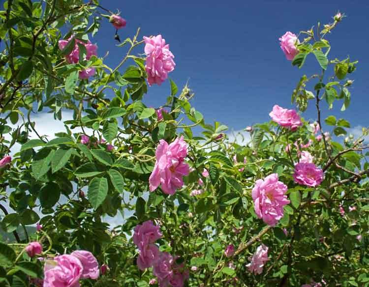 Rosa Rosenbüsche vor Gewitterwolken.