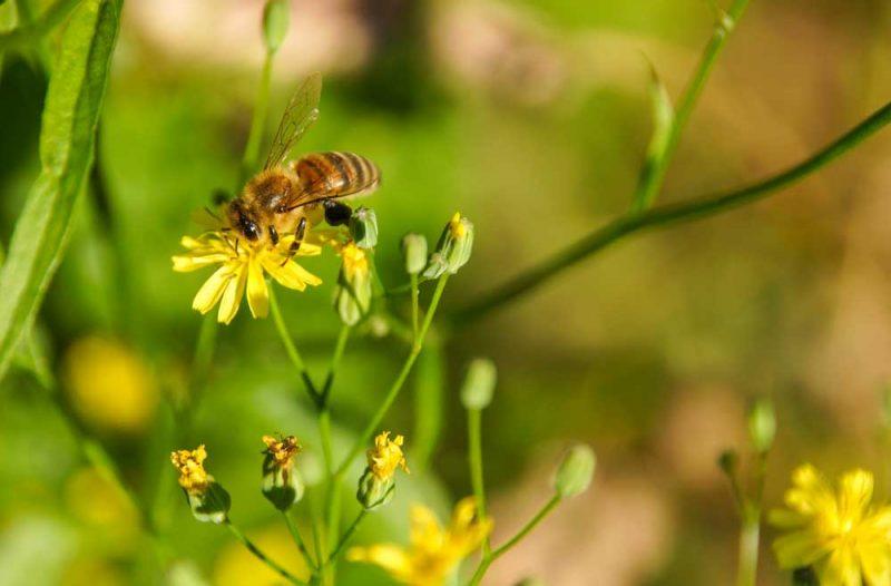 Eine Biene ist auf eine Blume und sammelt Blütenpollen.