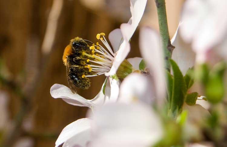 Schwarze Wildbiene mit orangefarbenem Pelz auf einer weißen Mandelblüte mit gelben Staubgefäßen.