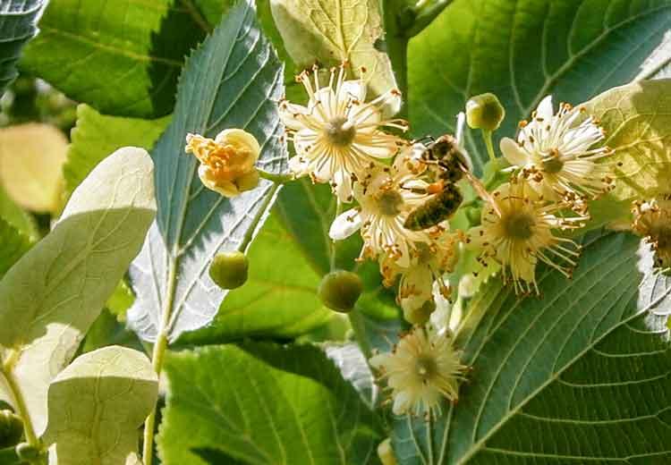 Eine goldene Biene sitzt auf einer Lindenblüte der Holländischen Linde und sammelt orangefarbenen Pollen.