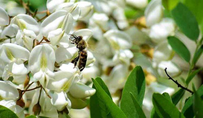 Nahaufnahme von eine Honigbiene die auf eine Robinienblüte sitzt.
