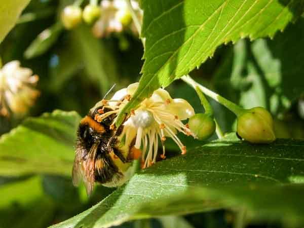 Eine große Hummel saugt Nektar aus einer Lindenbluete.