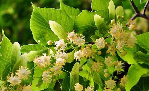 Eine Nahaufnahme von eine Gruppe von Lindeblüten und Blätter im Hintergrund.