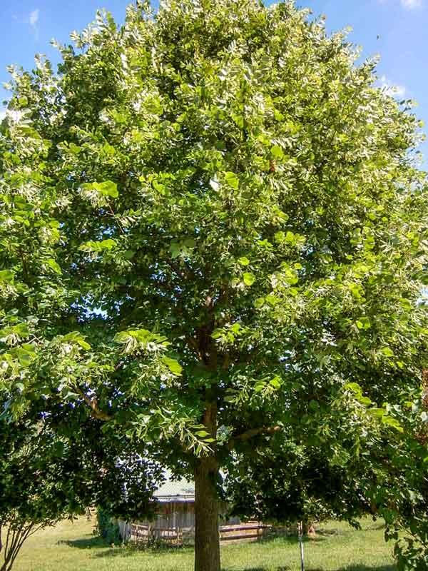 Sehr grosser, freistehender Lindenbaum vor dem Schafstall auf dem Bienenhof Imkerei Oswald.