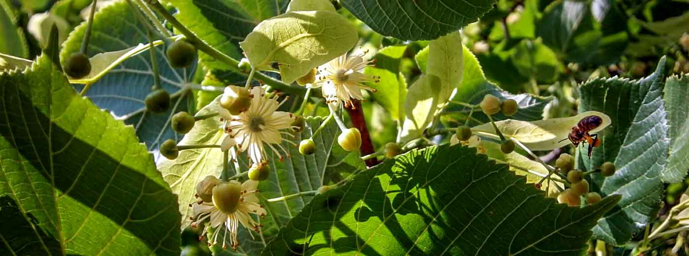 Die Blüte der Linde ist cremeweiß mit orangen Staubgefäßen. Die noch ungeöffneten Blüten sehen aus wie kleine Perlen.