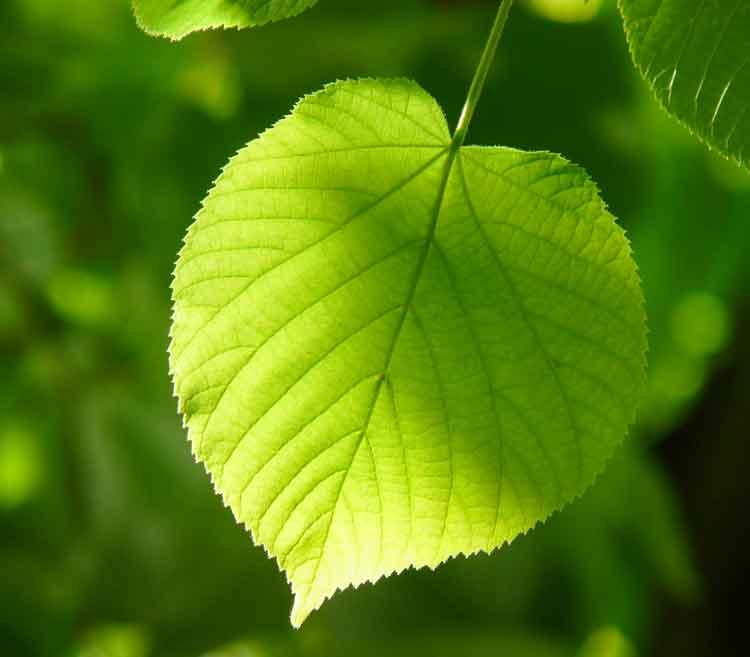 Das Lindenblatt weist eine schöne Herzform auf.