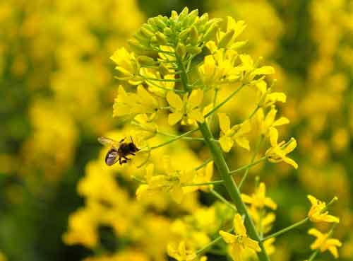 Eine Honigbiene saugt Nektar aus eine schöne gelbe Rabsblüte.