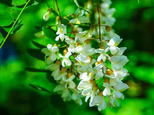 Eine Blüte der Robiniebaum in eine Nahaufnahme. Es zeigt die schöne weisse Blüte gegen einen grünen Blätter Hintergrund.