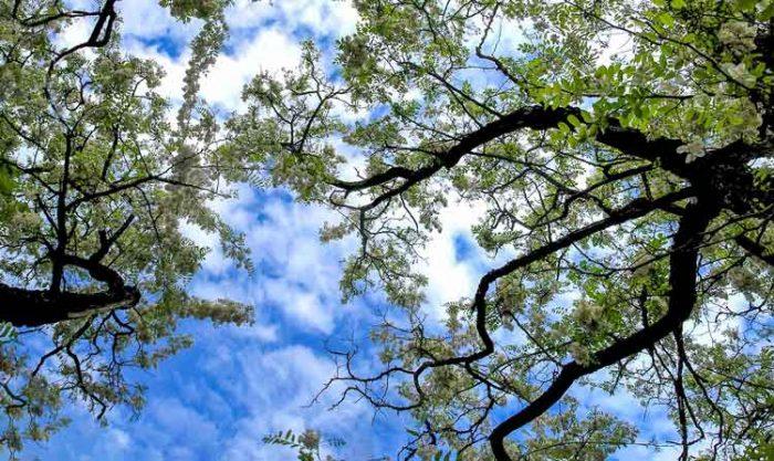 Zwei Robinienbäume fotografiert von unten gegen einen schönen blauen Himmel mit weisse Wolken.