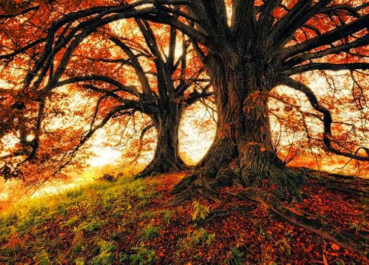 Zwei Lindenbäume auf einen kleinen Hügel mit ausstreckende Äste in einem Herbststimmung.