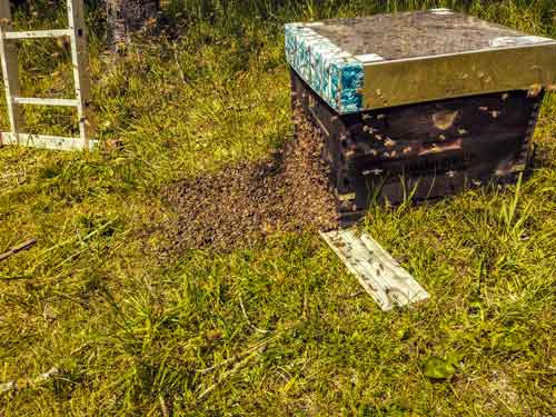 Ein Schwarm läuft in den Bienenstock.
