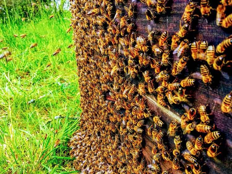Tausende Bienen sitzen auf einer Fangbeute.