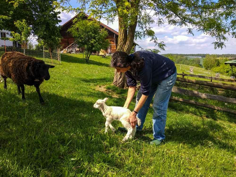 Ein kleines Weißes Lamm darf zum ersten Mal auf die Weide.