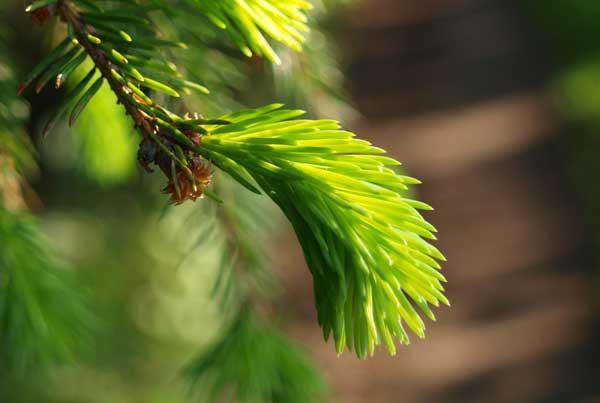Nahaufnahme der grünen Fichtenadeln gegen einen verschömenen Walkkulisse.