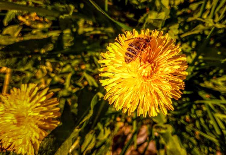 Biene besucht Blüte vom Löwenzahn.