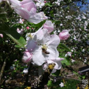 Apfelblüte im Sonnenlicht.