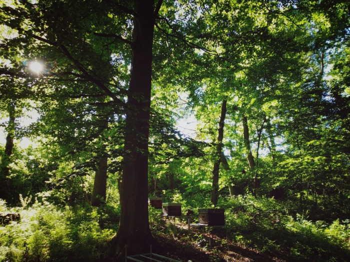 Waldlichtung mit Sonne, die durch die Blätter und Zweige scheint, darunter zwei Bienenvölker.