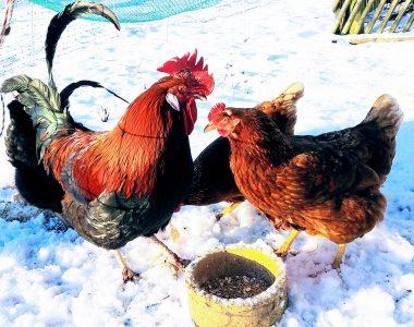 Ein bunt gefiederter Hahn und zwei Hennen stehen vor einer Futterschale im Schnee.