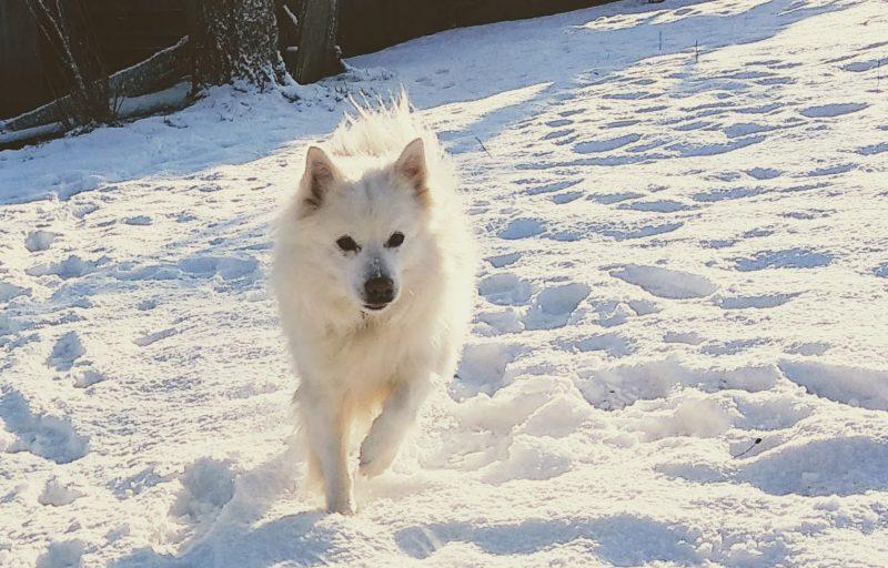 Weisser Hofhund patroulliert durch den Schnee.