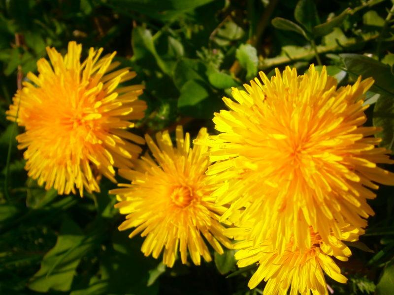 Drei Löwenzahnblüten gesellen sich zusammen zu einer Blumenfamilie.