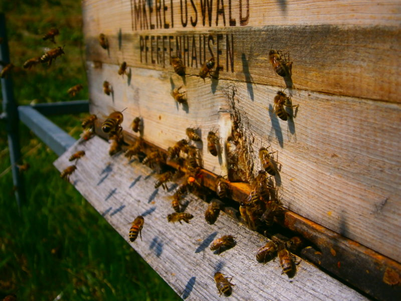 Die kleinen fleissigen Bienlein fliegen ein und aus (Oswalds Praxisratgeber Bienenhaltung).