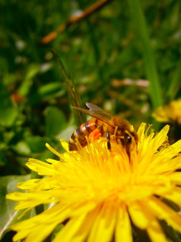 Eine Biene sitzt auf einer Blüte mit einem Pollenpaket an den Hinterbeinen. Die Farbe des Pollens ist gut zu erkennen.