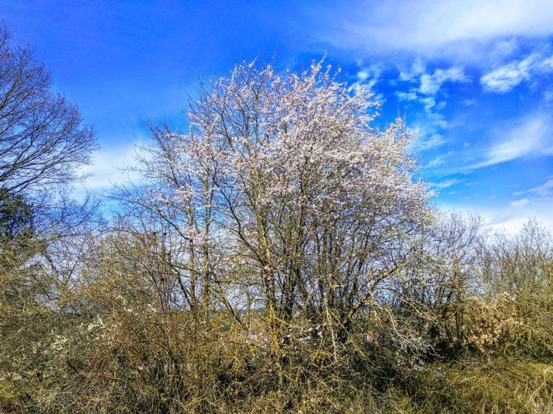 Ein blühender Wildpflaumenbaum.