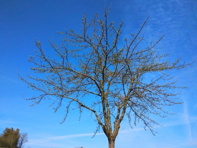 Ein Hochstamm-Apfelbaum auf der Streuobstwiese der Imkerei Oswald kurz vor dem Aufblühen am 08. Mai 2021 um 8:30 Uhr.