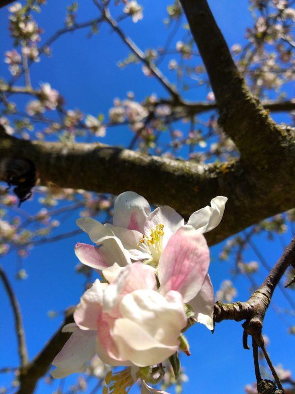 Rosa Apfelblüten vor dem Blau des Himmels