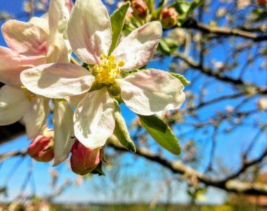 Eine Blüte des Himbeerapfel von Holowaus (um 1850). Foto: bio-honig.com (Bienenhof Familie Oswald)im Mai 2021