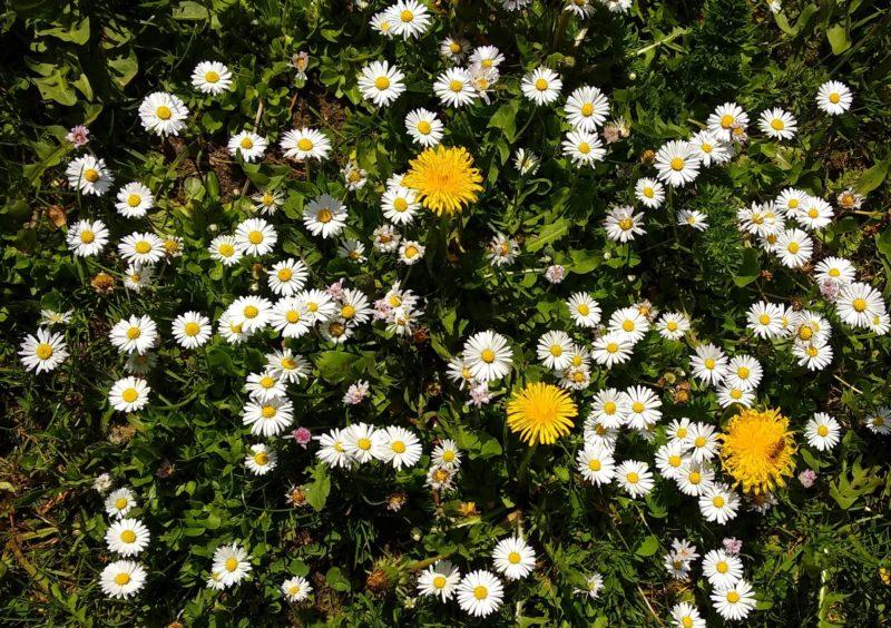 Ein Blütenteppich aus gelben Blüten und weißen Blüten. Auf einer Blüte sitzt eine Biene.
