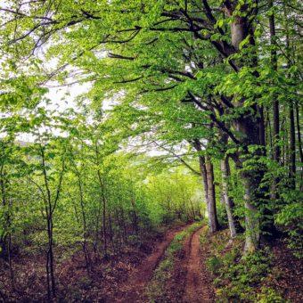 Der Frühlingswald zeigt zartes grün in seinen jungen Buchenblättern.