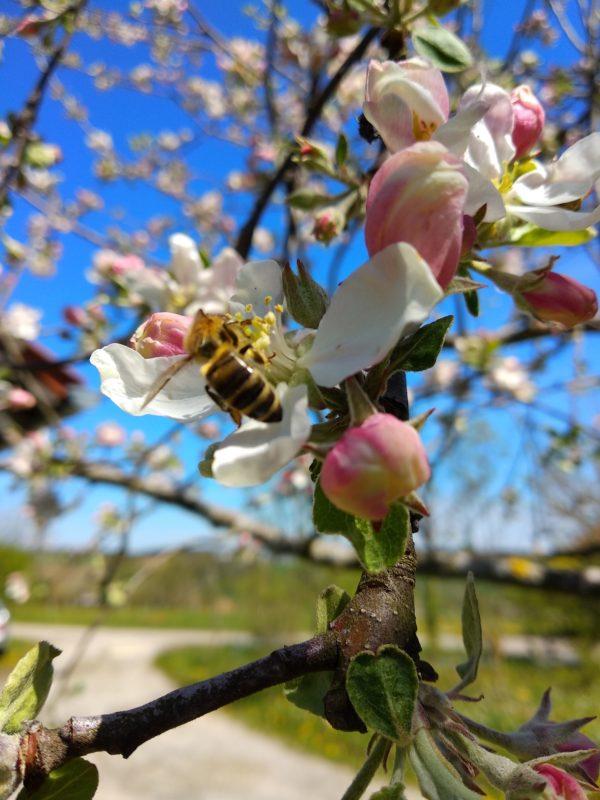 Eine schlanke Biene sucht emsig Blütennektar auf einer Apfelblüte.