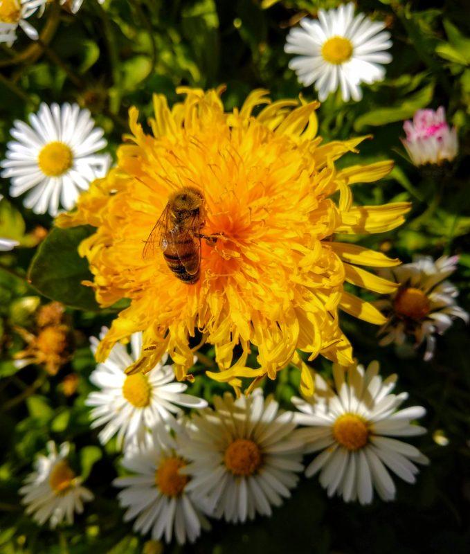 Eine Honigbiene mit lederbraunen Hinterleibsringen beim Nektarsaugen auf einer Löwenzahnlbüte. Um sie herum sind 8 Gänseblümchen..