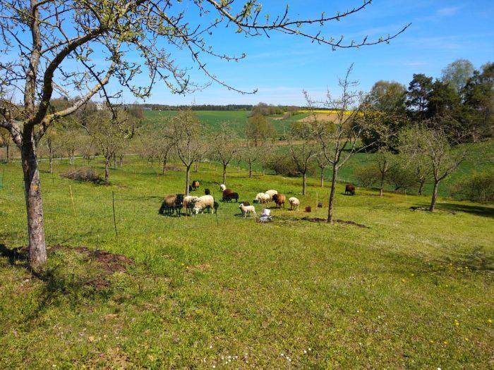 Eine kleine Schafherde befindet sich auf einem Wiesenhügel inmitten eines weiten Tals.